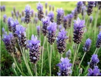 Parfum voor gietzeep Lavendel voor smelt zeep