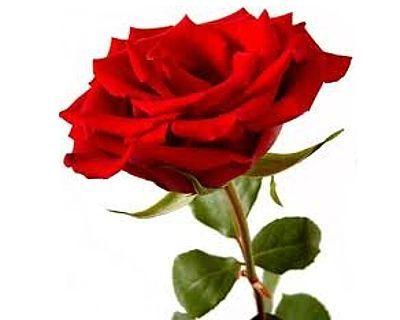 Duftöl Rose