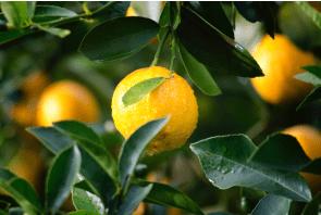 Geurolie Lemon twist